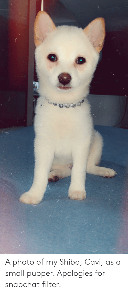 Snapchat, Filter, and Photo: A photo of my Shiba, Cavi, as a small pupper. Apologies for snapchat filter.