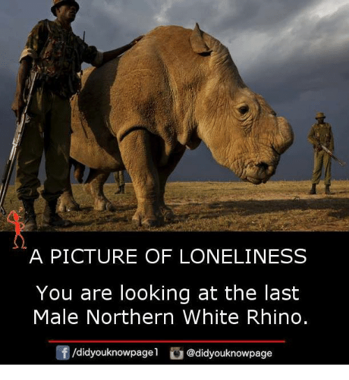 Memes, White, and Loneliness: A PICTURE OF LONELINESS  You are looking at the last  Male Northern White Rhino.  /d.dyouknowpagel  O@didyouknowpage
