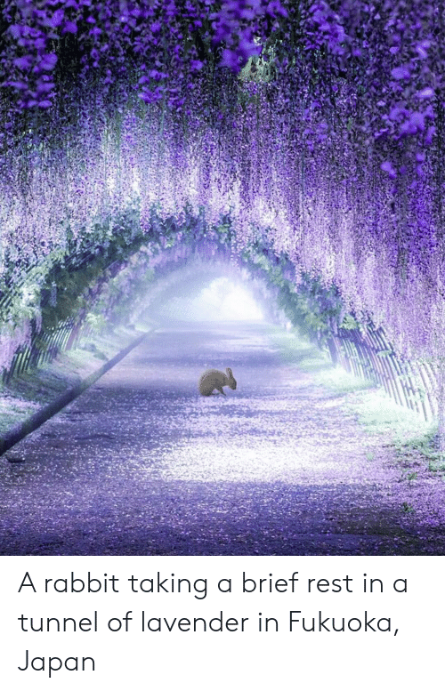 Japan, Rabbit, and Rest: A rabbit taking a brief rest in a tunnel of lavender in Fukuoka, Japan