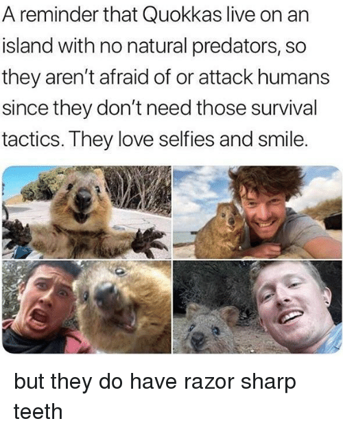 Love, Live, and Smile: A reminder that Quokkas live on an  island with no natural predators, so  they aren't afraid of or attack humans  since they don't need those survival  tactics. They love selfies and smile but they do have razor sharp teeth