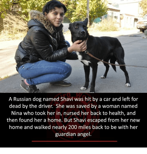 Memes, 🤖, and Dog: A Russian dog named Shavi was hit by a car and left for  dead by the driver. She was saved by a woman named  Nina who took her in, nursed her back to health, and  then found her a home. But Shavi escaped from her new  home and walked nearly 200 miles back to be with her  guardian angel.