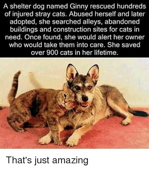 Memes, 🤖, and Stray Cats: A shelter dog named Ginny rescued hundreds  of injured stray cats. Abused herself and later  adopted, she searched alleys, abandoned  buildings and construction sites for cats in  need. Once found, she would alert her owner  who would take them into care. She saved  over 900 cats in her lifetime. That's just amazing