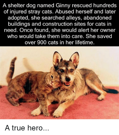 Memes, 🤖, and Stray Cats: A shelter dog named Ginny rescued hundreds  of injured stray cats. Abused herself and later  adopted, she searched alleys, abandoned  buildings and construction sites for cats in  need. Once found, she would alert her owner  who would take them into care. She saved  over 900 cats in her lifetime. A true hero...