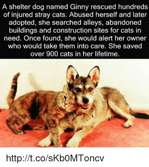 Memes, 🤖, and Stray Cats: A shelter dog named Ginny rescued hundreds  of injured stray cats. Abused herself and later  adopted, she searched alleys, abandoned  buildings and construction sites for cats in  need. Once found, she would alert her owner  who would take them into care. She saved  over 900 cats in her lifetime. http://t.co/sKb0MToncv