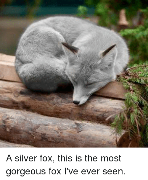 A Silver Fox This Is The Most Gorgeous Fox I Ve Ever Seen Meme