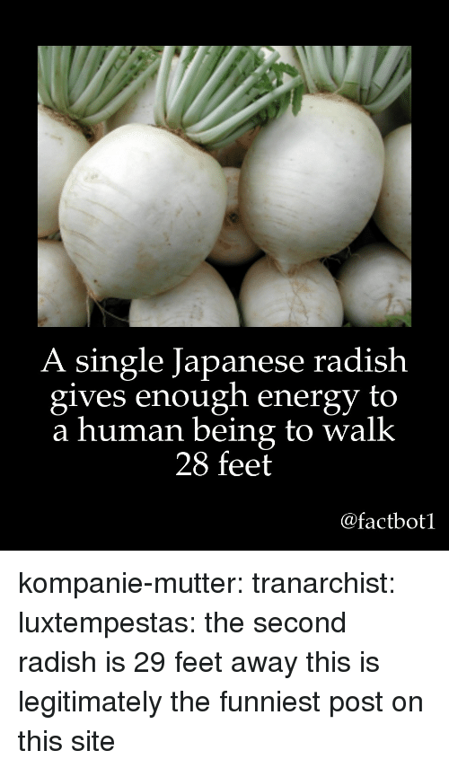 Energy, Tumblr, and Blog: A single Japanese radish  gives enough energy to  a human being to walk  28 feet  @factbot1 kompanie-mutter:  tranarchist:  luxtempestas: the second radish is 29 feet away   this is legitimately the funniest post on this site