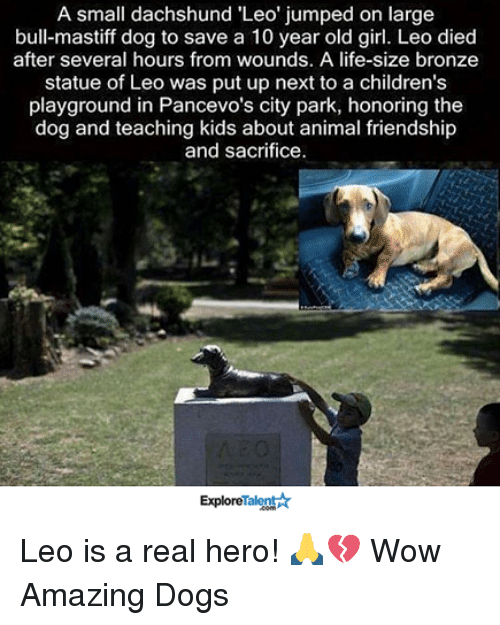 Memes, Teaching, and 🤖: A small dachshund Leo' jumped on large  bull mastiff dog to save a 10 year old girl. Leo died  after several hours from wounds. A life-size bronze  statue of Leo was put up next to a children's  playground in Pancevo's city park, honoring the  dog and teaching kids about animal friendship  and sacrifice.  ExploreTalent Leo is a real hero! 🙏💔  Wow Amazing Dogs
