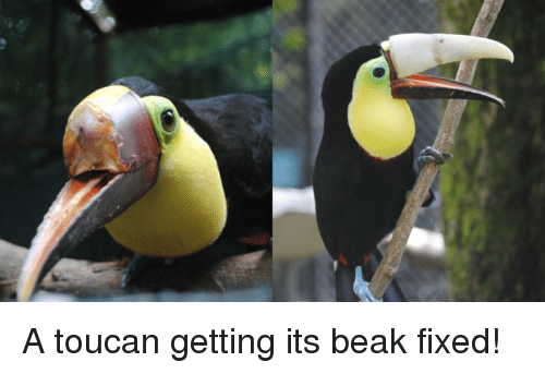 Toucan, Beak, and Fixed