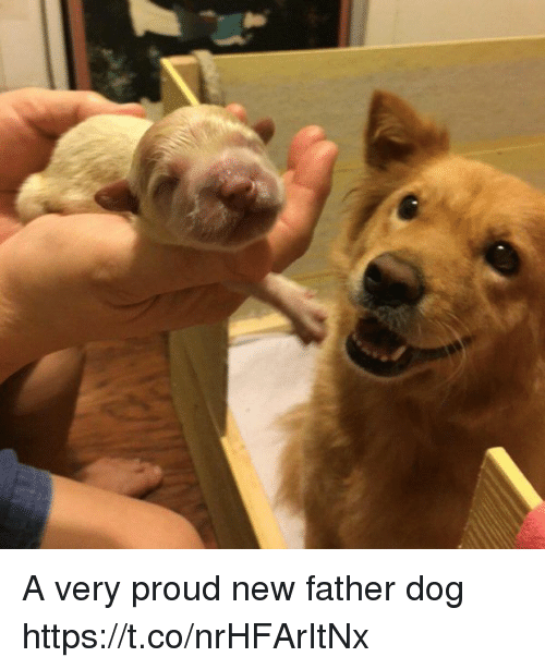 Girl Memes, Proud, and Dog: A very proud new father dog https://t.co/nrHFArItNx