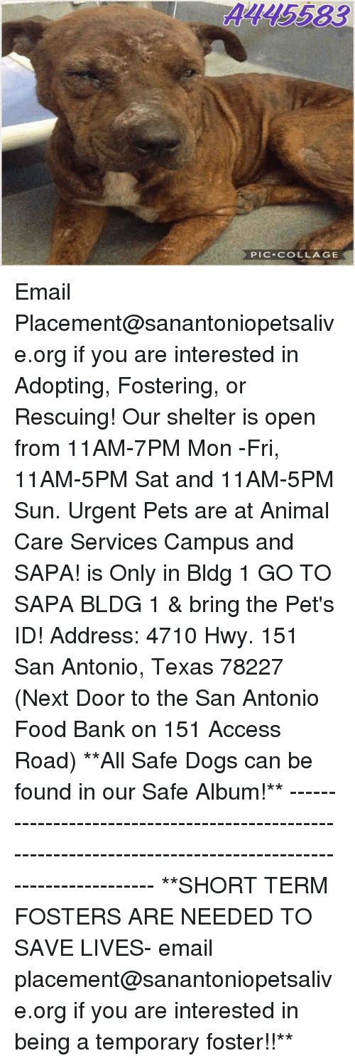 Dogs, Food, and Memes: A145583  PIC COLLAGE Email Placement@sanantoniopetsalive.org if you are interested in Adopting, Fostering, or Rescuing!  Our shelter is open from 11AM-7PM Mon -Fri, 11AM-5PM Sat and 11AM-5PM Sun.  Urgent Pets are at Animal Care Services Campus and SAPA! is Only in Bldg 1 GO TO SAPA BLDG 1 & bring the Pet's ID! Address: 4710 Hwy. 151 San Antonio, Texas 78227 (Next Door to the San Antonio Food Bank on 151 Access Road)  **All Safe Dogs can be found in our Safe Album!** ---------------------------------------------------------------------------------------------------------- **SHORT TERM FOSTERS ARE NEEDED TO SAVE LIVES- email placement@sanantoniopetsalive.org if you are interested in being a temporary foster!!**