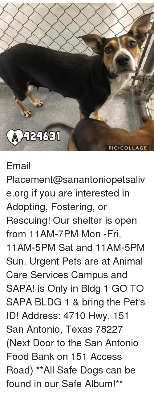 Memes, 🤖, and Sun: A24631  A PIC. COLLAGE Email Placement@sanantoniopetsalive.org if you are interested in Adopting, Fostering, or Rescuing!  Our shelter is open from 11AM-7PM Mon -Fri, 11AM-5PM Sat and 11AM-5PM Sun.  Urgent Pets are at Animal Care Services Campus and SAPA! is Only in Bldg 1 GO TO SAPA BLDG 1 & bring the Pet's ID! Address: 4710 Hwy. 151 San Antonio, Texas 78227 (Next Door to the San Antonio Food Bank on 151 Access Road)  **All Safe Dogs can be found in our Safe Album!**