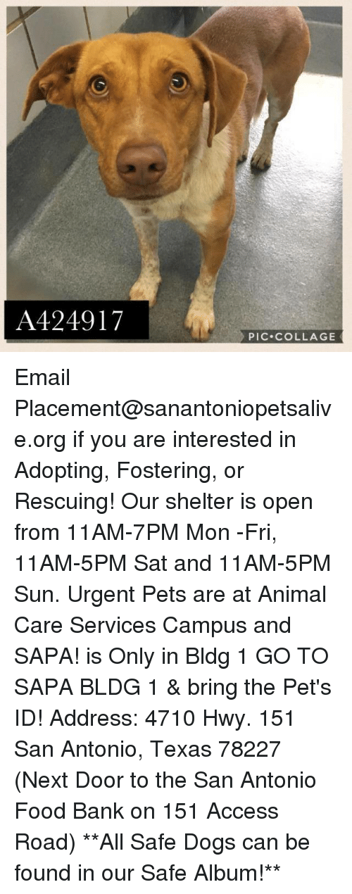 Memes, 🤖, and Sun: A424917  PIC. COLLAGE Email Placement@sanantoniopetsalive.org if you are interested in Adopting, Fostering, or Rescuing!  Our shelter is open from 11AM-7PM Mon -Fri, 11AM-5PM Sat and 11AM-5PM Sun.  Urgent Pets are at Animal Care Services Campus and SAPA! is Only in Bldg 1 GO TO SAPA BLDG 1 & bring the Pet's ID! Address: 4710 Hwy. 151 San Antonio, Texas 78227 (Next Door to the San Antonio Food Bank on 151 Access Road)  **All Safe Dogs can be found in our Safe Album!**