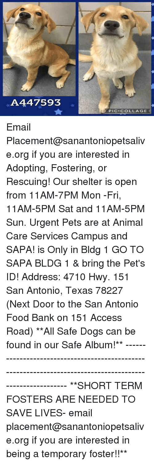 Dogs, Food, and Memes: A447593  PIC COLLAGE Email Placement@sanantoniopetsalive.org if you are interested in Adopting, Fostering, or Rescuing!  Our shelter is open from 11AM-7PM Mon -Fri, 11AM-5PM Sat and 11AM-5PM Sun.  Urgent Pets are at Animal Care Services Campus and SAPA! is Only in Bldg 1 GO TO SAPA BLDG 1 & bring the Pet's ID! Address: 4710 Hwy. 151 San Antonio, Texas 78227 (Next Door to the San Antonio Food Bank on 151 Access Road)  **All Safe Dogs can be found in our Safe Album!** ---------------------------------------------------------------------------------------------------------- **SHORT TERM FOSTERS ARE NEEDED TO SAVE LIVES- email placement@sanantoniopetsalive.org if you are interested in being a temporary foster!!**