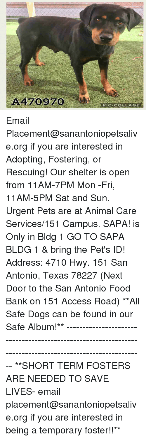 Dogs, Food, and Memes: A470970  PIC COLLAGE Email Placement@sanantoniopetsalive.org if you are interested in Adopting, Fostering, or Rescuing!  Our shelter is open from 11AM-7PM Mon -Fri, 11AM-5PM Sat and Sun.  Urgent Pets are at Animal Care Services/151 Campus. SAPA! is Only in Bldg 1 GO TO SAPA BLDG 1 & bring the Pet's ID! Address: 4710 Hwy. 151 San Antonio, Texas 78227 (Next Door to the San Antonio Food Bank on 151 Access Road)  **All Safe Dogs can be found in our Safe Album!** ---------------------------------------------------------------------------------------------------------- **SHORT TERM FOSTERS ARE NEEDED TO SAVE LIVES- email placement@sanantoniopetsalive.org if you are interested in being a temporary foster!!**