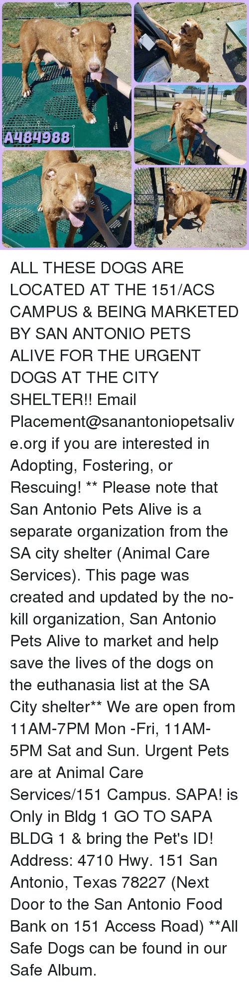 Alive, Dogs, and Food: A484988 ALL THESE DOGS ARE LOCATED AT THE 151/ACS CAMPUS & BEING MARKETED BY SAN ANTONIO PETS ALIVE FOR THE URGENT DOGS AT THE CITY SHELTER!!  Email Placement@sanantoniopetsalive.org if you are interested in Adopting, Fostering, or Rescuing!                                                                                                                                                                                                                                                                                                                                                             ** Please note that San Antonio Pets Alive is a separate organization from the SA city shelter (Animal Care Services). This page was created and updated by the no-kill organization, San Antonio Pets Alive to market and help save the lives of the dogs on the euthanasia list at the SA City shelter**  We are open from 11AM-7PM Mon -Fri, 11AM-5PM Sat and Sun. Urgent Pets are at Animal Care Services/151 Campus. SAPA! is Only in Bldg 1 GO TO SAPA BLDG 1 & bring the Pet's ID! Address: 4710 Hwy. 151 San Antonio, Texas 78227 (Next Door to the San Antonio Food Bank on 151 Access Road) **All Safe Dogs can be found in our Safe Album.