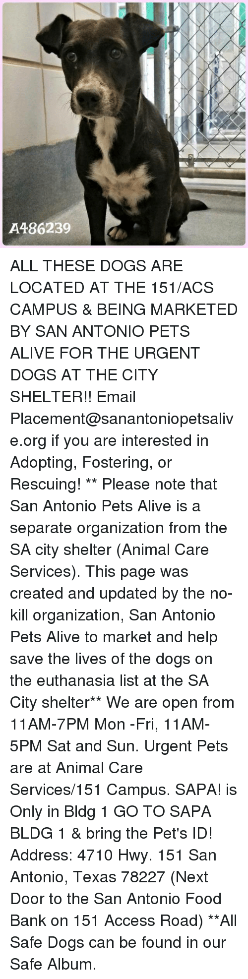 Alive, Dogs, and Food: A486239 ALL THESE DOGS ARE LOCATED AT THE 151/ACS CAMPUS & BEING MARKETED BY SAN ANTONIO PETS ALIVE FOR THE URGENT DOGS AT THE CITY SHELTER!!  Email Placement@sanantoniopetsalive.org if you are interested in Adopting, Fostering, or Rescuing!                                                                                                                                                                                                                                                                                                                                                             ** Please note that San Antonio Pets Alive is a separate organization from the SA city shelter (Animal Care Services). This page was created and updated by the no-kill organization, San Antonio Pets Alive to market and help save the lives of the dogs on the euthanasia list at the SA City shelter**  We are open from 11AM-7PM Mon -Fri, 11AM-5PM Sat and Sun. Urgent Pets are at Animal Care Services/151 Campus. SAPA! is Only in Bldg 1 GO TO SAPA BLDG 1 & bring the Pet's ID! Address: 4710 Hwy. 151 San Antonio, Texas 78227 (Next Door to the San Antonio Food Bank on 151 Access Road) **All Safe Dogs can be found in our Safe Album.
