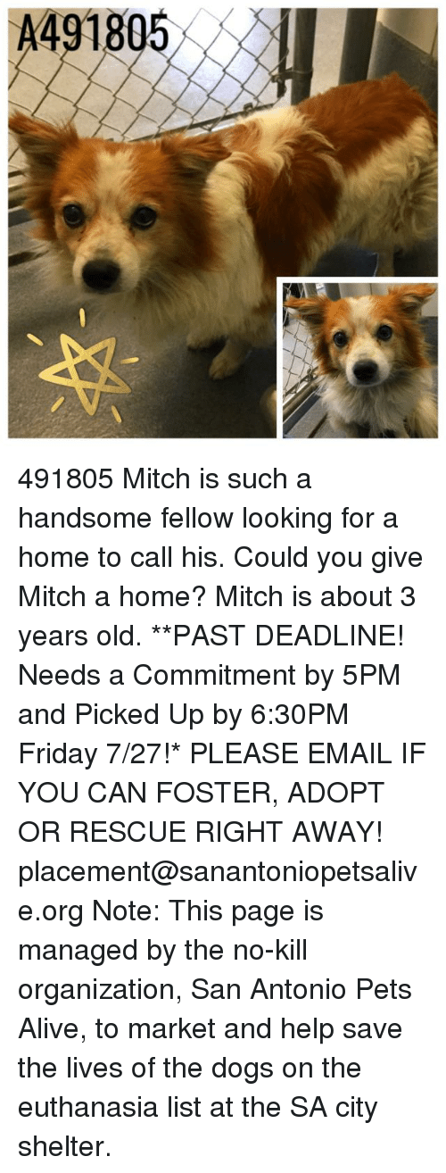 Alive, Dogs, and Friday: A491805 491805 Mitch is such a handsome fellow looking for a home to call his. Could you give Mitch a home? Mitch is about 3 years old.   **PAST DEADLINE! Needs a Commitment by 5PM and Picked Up by 6:30PM Friday 7/27!* PLEASE EMAIL IF YOU CAN FOSTER, ADOPT OR RESCUE RIGHT AWAY! placement@sanantoniopetsalive.org Note: This page is managed by the no-kill organization, San Antonio Pets Alive, to market and help save the lives of the dogs on the euthanasia list at the SA city shelter.