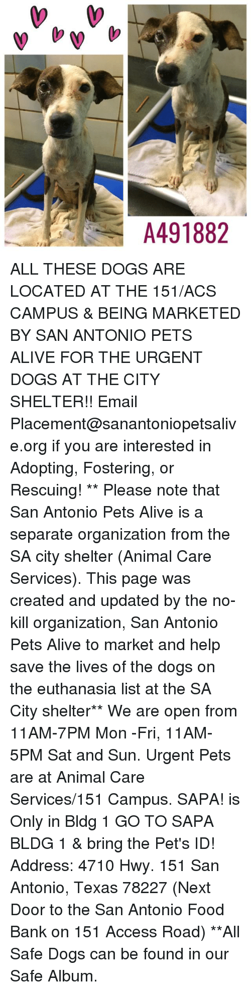 Alive, Dogs, and Food: A491882 ALL THESE DOGS ARE LOCATED AT THE 151/ACS CAMPUS & BEING MARKETED BY SAN ANTONIO PETS ALIVE FOR THE URGENT DOGS AT THE CITY SHELTER!!  Email Placement@sanantoniopetsalive.org if you are interested in Adopting, Fostering, or Rescuing!                                                                                                                                                                                                                                                                                                                                                             ** Please note that San Antonio Pets Alive is a separate organization from the SA city shelter (Animal Care Services). This page was created and updated by the no-kill organization, San Antonio Pets Alive to market and help save the lives of the dogs on the euthanasia list at the SA City shelter**  We are open from 11AM-7PM Mon -Fri, 11AM-5PM Sat and Sun. Urgent Pets are at Animal Care Services/151 Campus. SAPA! is Only in Bldg 1 GO TO SAPA BLDG 1 & bring the Pet's ID! Address: 4710 Hwy. 151 San Antonio, Texas 78227 (Next Door to the San Antonio Food Bank on 151 Access Road) **All Safe Dogs can be found in our Safe Album.