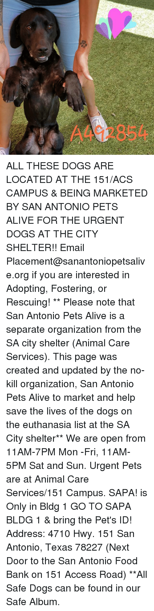 Alive, Dogs, and Food: A492854 ALL THESE DOGS ARE LOCATED AT THE 151/ACS CAMPUS & BEING MARKETED BY SAN ANTONIO PETS ALIVE FOR THE URGENT DOGS AT THE CITY SHELTER!!  Email Placement@sanantoniopetsalive.org if you are interested in Adopting, Fostering, or Rescuing!                                                                                                                                                                                                                                                                                                                                                             ** Please note that San Antonio Pets Alive is a separate organization from the SA city shelter (Animal Care Services). This page was created and updated by the no-kill organization, San Antonio Pets Alive to market and help save the lives of the dogs on the euthanasia list at the SA City shelter**  We are open from 11AM-7PM Mon -Fri, 11AM-5PM Sat and Sun. Urgent Pets are at Animal Care Services/151 Campus. SAPA! is Only in Bldg 1 GO TO SAPA BLDG 1 & bring the Pet's ID! Address: 4710 Hwy. 151 San Antonio, Texas 78227 (Next Door to the San Antonio Food Bank on 151 Access Road) **All Safe Dogs can be found in our Safe Album.