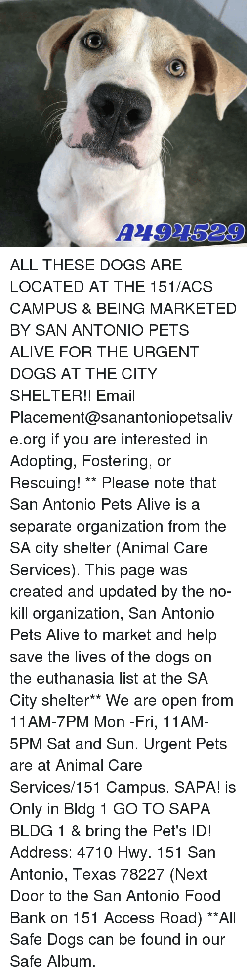 Alive, Dogs, and Food: A494529 ALL THESE DOGS ARE LOCATED AT THE 151/ACS CAMPUS & BEING MARKETED BY SAN ANTONIO PETS ALIVE FOR THE URGENT DOGS AT THE CITY SHELTER!!  Email Placement@sanantoniopetsalive.org if you are interested in Adopting, Fostering, or Rescuing!                                                                                                                                                                                                                                                                                                                                                             ** Please note that San Antonio Pets Alive is a separate organization from the SA city shelter (Animal Care Services). This page was created and updated by the no-kill organization, San Antonio Pets Alive to market and help save the lives of the dogs on the euthanasia list at the SA City shelter**  We are open from 11AM-7PM Mon -Fri, 11AM-5PM Sat and Sun. Urgent Pets are at Animal Care Services/151 Campus. SAPA! is Only in Bldg 1 GO TO SAPA BLDG 1 & bring the Pet's ID! Address: 4710 Hwy. 151 San Antonio, Texas 78227 (Next Door to the San Antonio Food Bank on 151 Access Road) **All Safe Dogs can be found in our Safe Album.