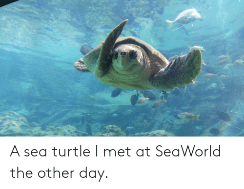 SeaWorld, Turtle, and Day: A62 A sea turtle I met at SeaWorld the other day.