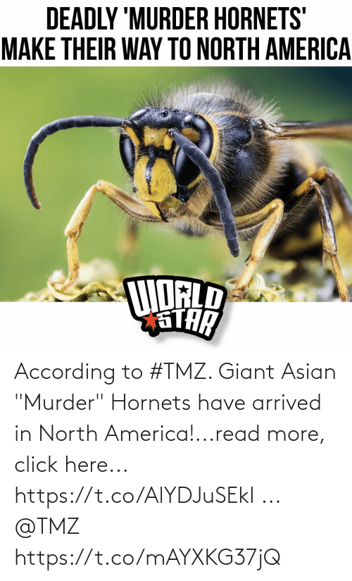"""America, Asian, and Click: According to #TMZ.  Giant Asian """"Murder"""" Hornets have arrived in North America!...read more, click here... https://t.co/AlYDJuSEkI ... @TMZ https://t.co/mAYXKG37jQ"""