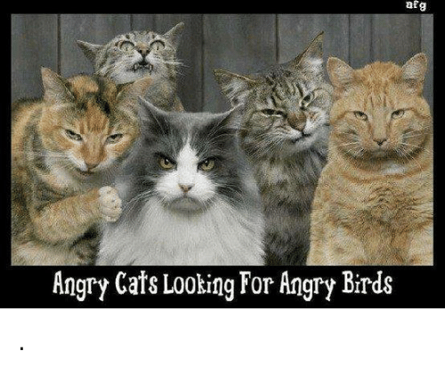 af g angry cats looking for angry birds 11572345 af g angry cats looking for angry birds angry birds meme on me me