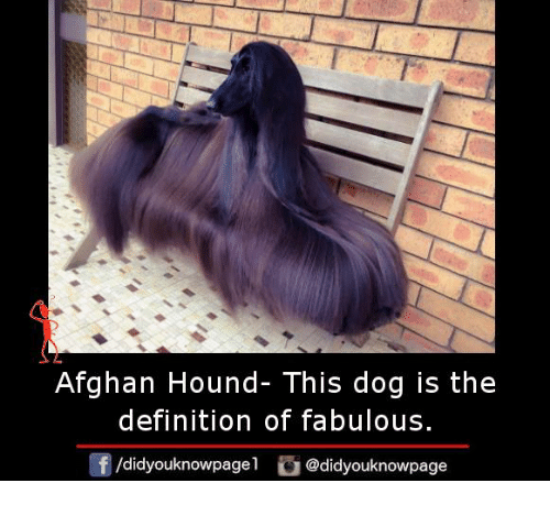 Memes, Definition, And Afghan: Afghan Hound  This Dog Is The Definition Of