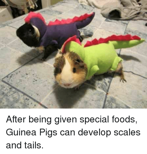 Guinea Pig, Shitty Animalfacts, and Pig: After being given special foods, Guinea Pigs can develop scales and tails.