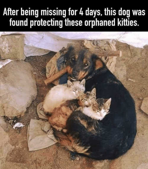Kitties, Memes, and 🤖: After being missing for 4 days, this dog was  found protecting these orphaned kitties.
