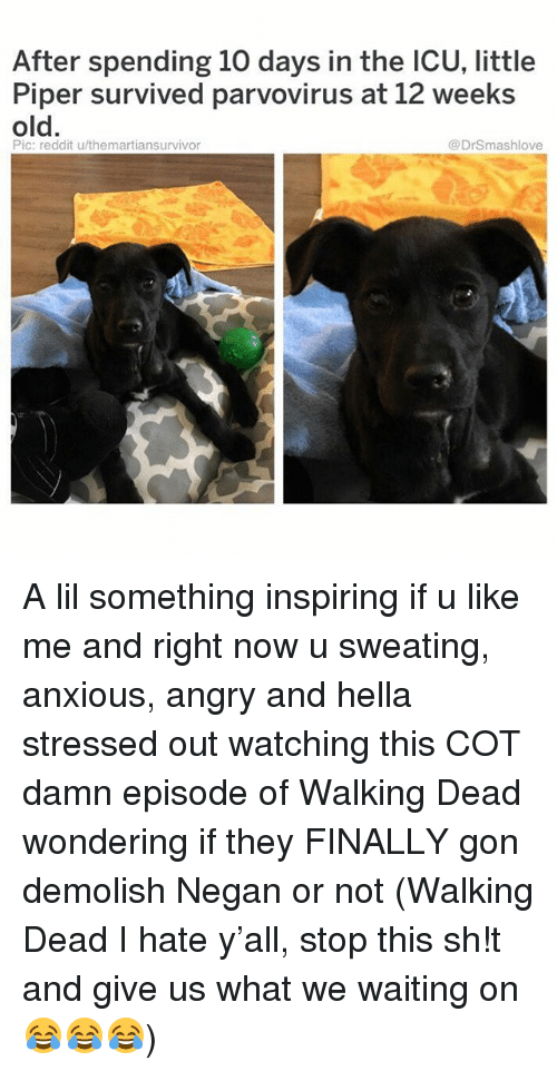 Memes, Reddit, and Walking Dead: After spending 10 days in the ICU, little  Piper survived parvovirus at 12 weeks  old.  Pic: reddit u/themartiansurvivor  @DrSmashlove A lil something inspiring if u like me and right now u sweating, anxious, angry and hella stressed out watching this COT damn episode of Walking Dead wondering if they FINALLY gon demolish Negan or not (Walking Dead I hate y'all, stop this sh!t and give us what we waiting on 😂😂😂)