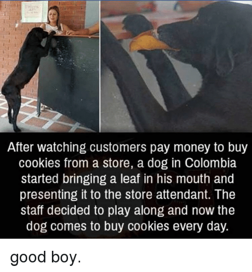 Cookies, Money, and Colombia: After watching customers pay money to buy  cookies from a store, a dog in Colombia  started bringing a leaf in his mouth and  presenting it to the store attendant. The  staff decided to play along and now the  dog comes to buy cookies every day. good boy.