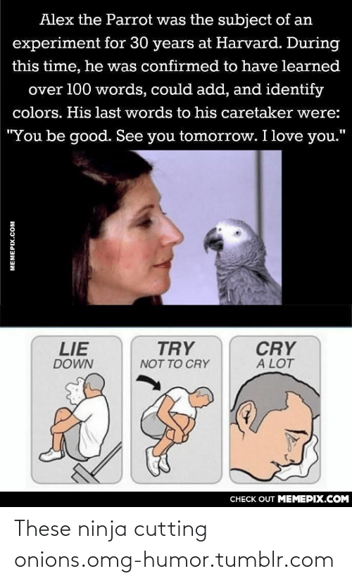 """Love, Omg, and Tumblr: Alex the Parrot was the subject of an  experiment for 30 years at Harvard. During  this time, he was confirmed to have learned  over 100 words, could add, and identify  colors. His last words to his caretaker were:  """"You be good. See you tomorrow. I love you.""""  LIE  TRY  CRY  A LOT  DOWN  NOT TO CRY  CНЕCK OUT MЕМЕРIХ.COM  MEMEPIX.COM These ninja cutting onions.omg-humor.tumblr.com"""
