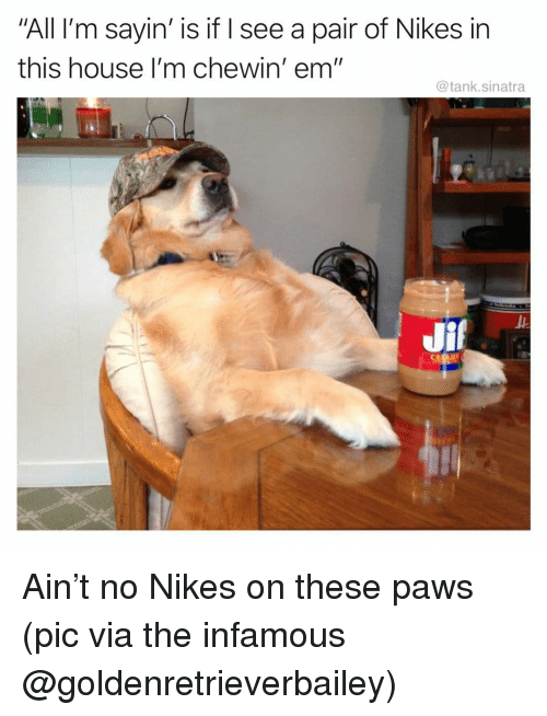 "Funny, House, and Infamous: All I'm sayin' is if I see a pair of Nikes in  this house I'm chewin' em""  @tank.sinatra Ain't no Nikes on these paws (pic via the infamous @goldenretrieverbailey)"