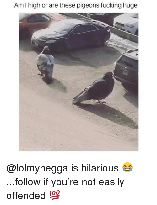 Fucking, Memes, and Hilarious: Am I high or are these pigeons fucking huge @lolmynegga is hilarious 😂...follow if you're not easily offended 💯