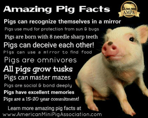Amazing Pig Facts AMPA Pigs Can Recognize Themselves in a