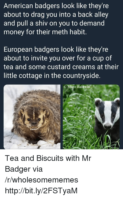 Money, American, and Http: American badgers look like they're  about to drag you into a back alley  and pull a shiv on you to demand  money for their meth habit.  European badgers look like they're  about to invite you over for a cup of  tea and some custard creams at their  little cottage in the countryside.  C Marc Baldwin Tea and Biscuits with Mr Badger via /r/wholesomememes http://bit.ly/2FSTyaM