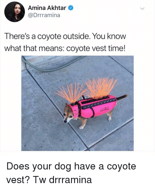 Memes, Coyote, and Time: Amina Akhtar  @Drrramina  There's a coyote outside. You know  what that means: coyote vest time! Does your dog have a coyote vest? Tw drrramina