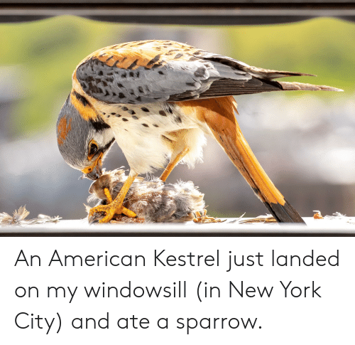 New York, American, and New York City: An American Kestrel just landed on my windowsill (in New York City) and ate a sparrow.