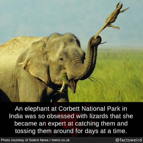 Memes, News, and Elephant: An elephant at Corbett National Park in  India was so obsessed with lizards that she  became an expert at catching them and  tossing them around for days at a time.  Photo courtesy of Solent News / metro.co.uk  @factsweird