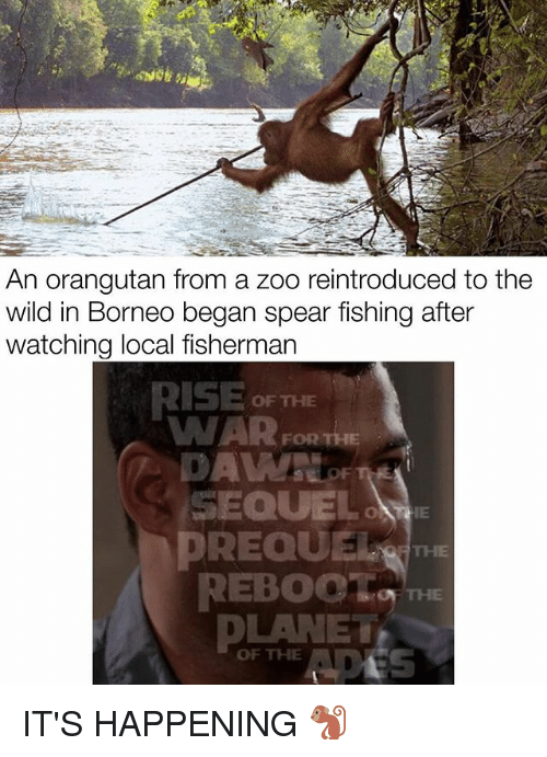 Memes, Wild, and Fishing: An orangutan from a zoo reintroduced to the  wild in Borneo began spear fishing after  watching local fisherman  RISE OF THE  WAR  FOR THE  SEQUEL  PREQUEle  OF THE  DLANET  OF THE A IT'S HAPPENING 🐒