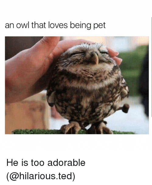 Funny, Ted, and Hilarious: an owl that loves being pet He is too adorable (@hilarious.ted)