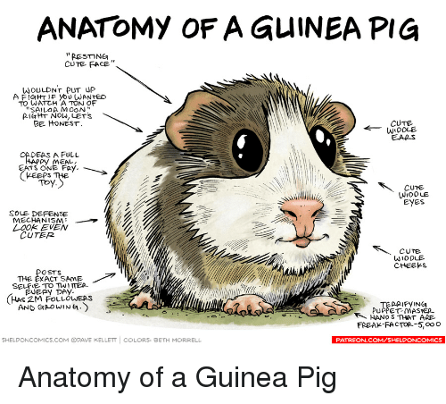 ANATOMY OF a GuINEA PIG RESMNER CUTE FACE WOULDNT PUT UP a FIGHT IF ...