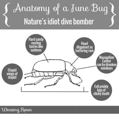 Anatomy of a June Bug Nature\'s Idiot Dive Bomber Hard Candy Coatin ...