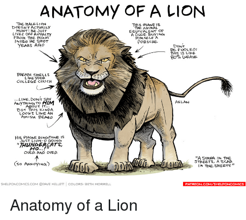 Anatomy Of A Lion Taemalelion This Mane Is Doesnt Actually The
