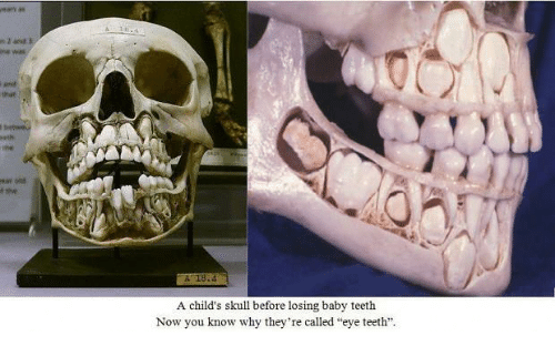 And a Child\'s Skull Before Losing Baby Teeth Now You Know Why They ...