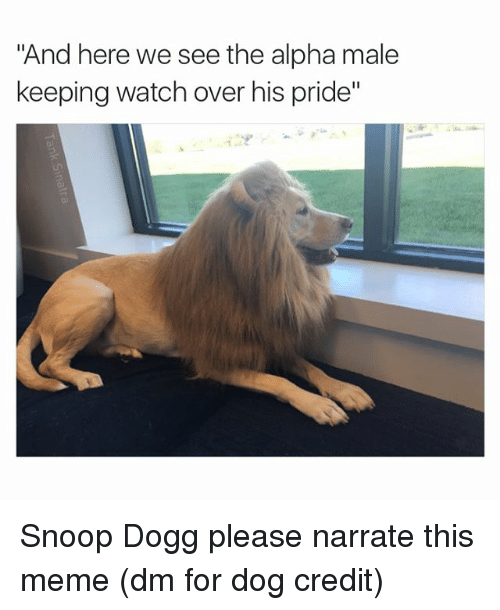 """Funny, Snoop, and Snoop Dogg: """"And here we see the alpha male  keeping watch over his pride"""" Snoop Dogg please narrate this meme (dm for dog credit)"""