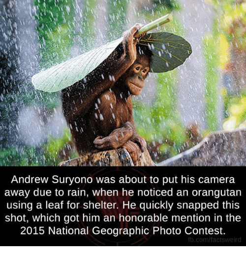 Facts, Memes, and Weird: Andrew Suryono was about to put his camera  away due to rain, when he noticed an orangutan  using a leaf for shelter. He quickly snapped this  shot, which got him an honorable mention in the  2015 National Geographic Photo Contest.  fb.com/facts weird