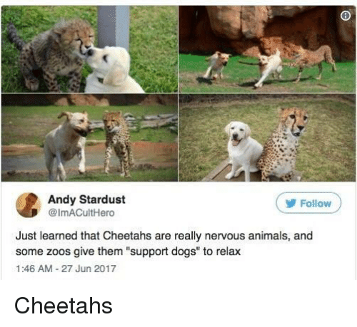 "Animals, Dogs, and Stardust: Andy Stardust  @ImACultHero  ( Follow  Just learned that Cheetahs are really nervous animals, and  some zoos give them ""support dogs"" to relax  1:46 AM-27 Jun 2017 Cheetahs"