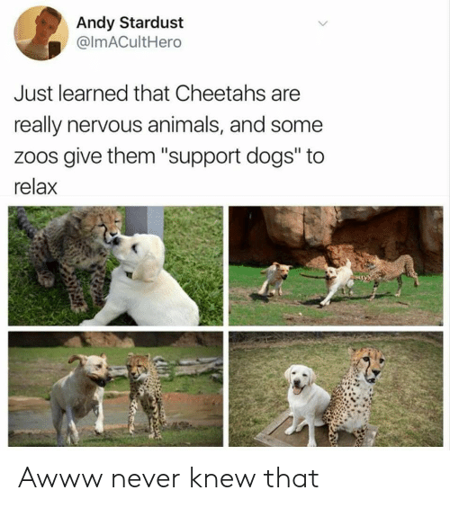 """Animals, Dogs, and Never: Andy Stardust  @ImACultHero  Just learned that Cheetahs are  really nervous animals, and some  zoos give them """"support dogs"""" to  relax Awww never knew that"""